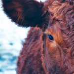 picture of the face of a cow